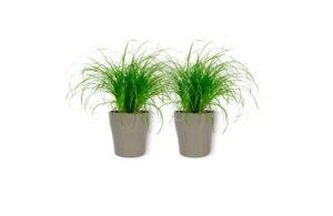 Cyperus Zumula – Herbe à chat dans un pot argenté – Hauteur +/- 25 cm avec pot – Diamètre : 12 cm – Plante respectueuse des animaux – Convient pour les chats