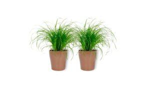 Cyperus Zumula – Herbe à chat dans un pot couleur cuivre – Hauteur +/- 25 cm avec pot – Diamètre : 12 cm – Plante respectueuse des animaux – Convient pour les chats