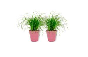 Cyperus Zumula – Herbe à chat dans un pot rose – Hauteur +/- 25 cm avec pot – Diamètre : 12 cm – Plante respectueuse des animaux – Convient pour les chats