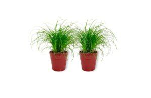 Cyperus Zumula – Herbe à chat dans un pot rouge – Hauteur +/- 25 cm avec pot – Diamètre : 12 cm – Plante respectueuse des animaux – Convient pour les chats