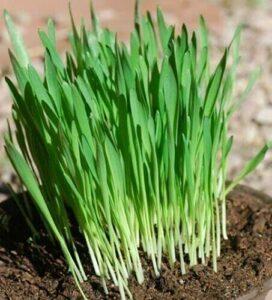 Herb – Cat Grass – Avena sativa – Organic Cat Grass – oat seed to aid cat digestion 30 grams