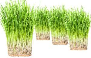 purr paw Lot de 4 plantes d'herbe pour chat (biologique) pour intérieur – il suffit d'ajouter de l'eau